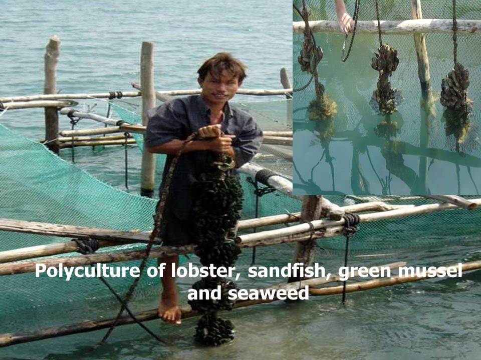 Polyculture of lobster, sandfish, green mussel and seaweed