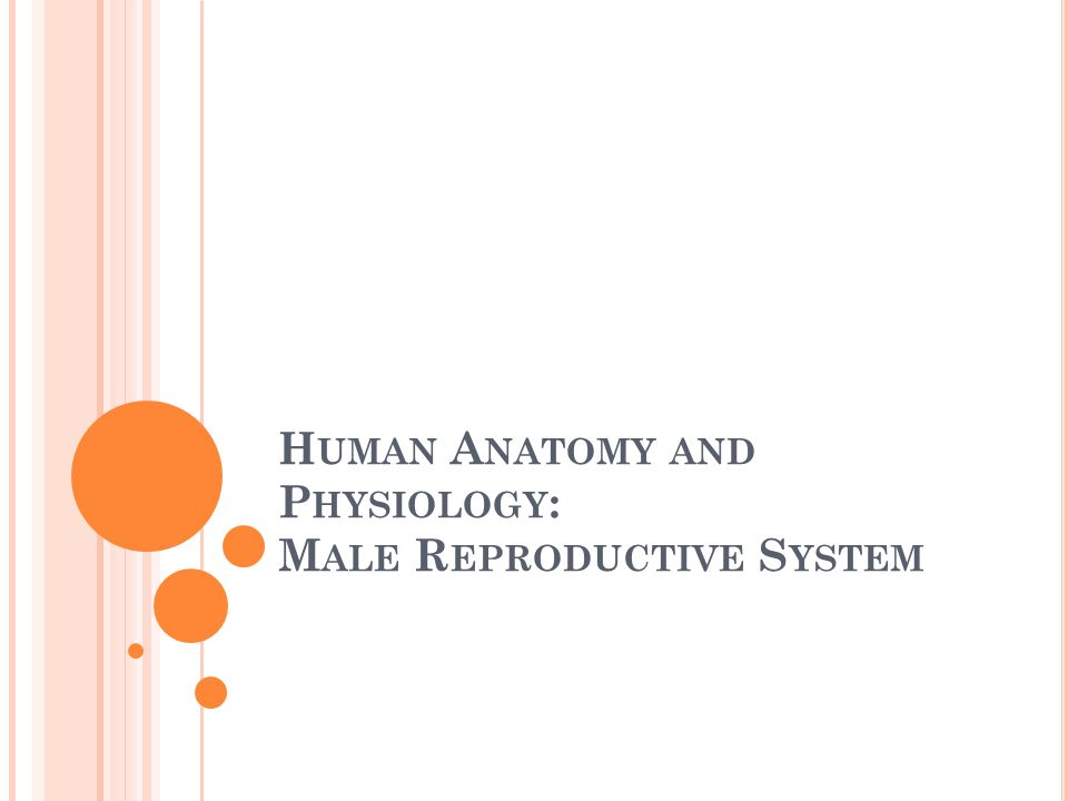Human Anatomy and Physiology: Male Reproductive System - ppt video ...