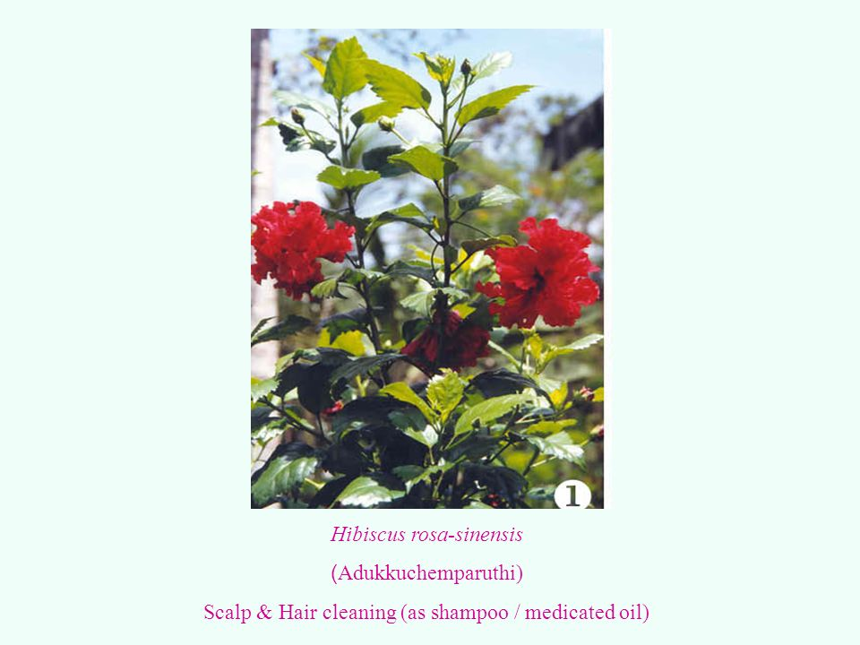 Hibiscus rosa-sinensis (Adukkuchemparuthi)