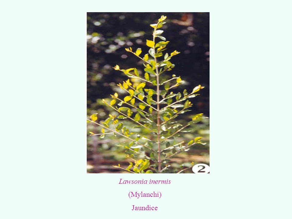 Lawsonia inermis (Mylanchi) Jaundice