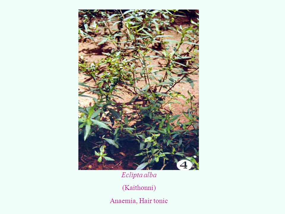 Eclipta alba (Kaithonni) Anaemia, Hair tonic