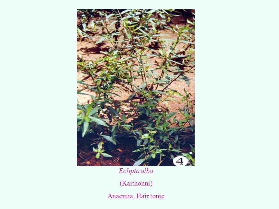 Eclipta alba (Kaithonni) Anaemia, Hair tonic