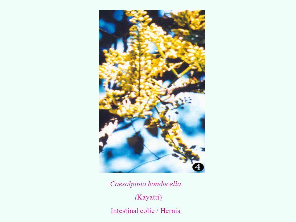 Caesalpinia bonducella (Kayatti) Intestinal colic / Hernia