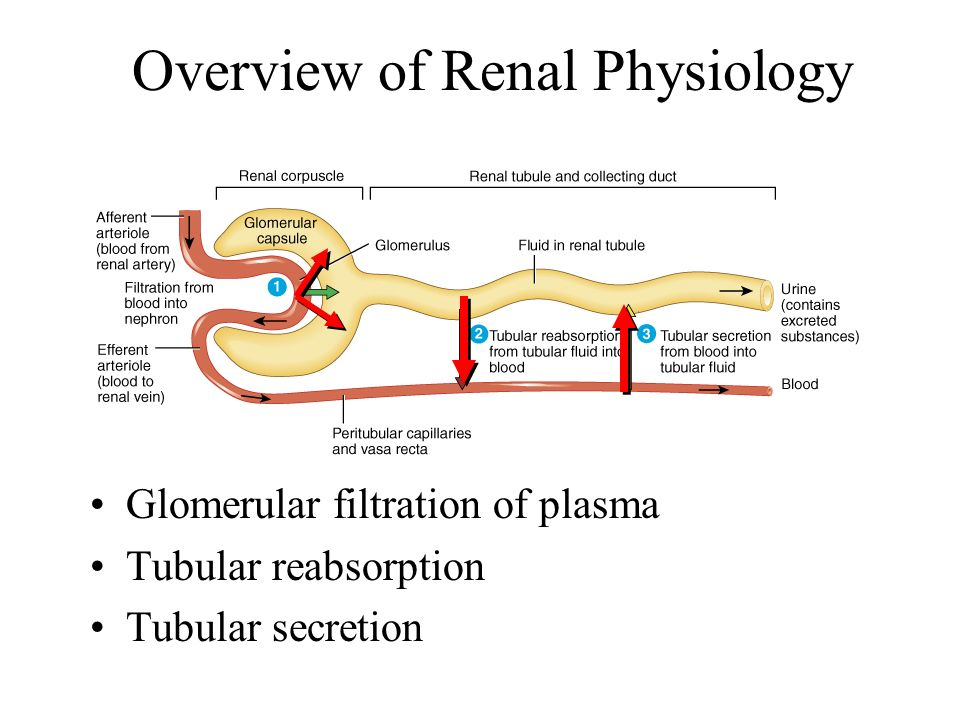 exercise 9 renal system physiology worksheet Top urinary system quizzes & trivia   anatomy and physiology of the urinary system all the questions with  pertain to our class some others may loosely, but not as much  the urinary, or renal, system is of vital importance to the human body as its purpose is to eliminate wastes from the body, regulate blood volume and blood.