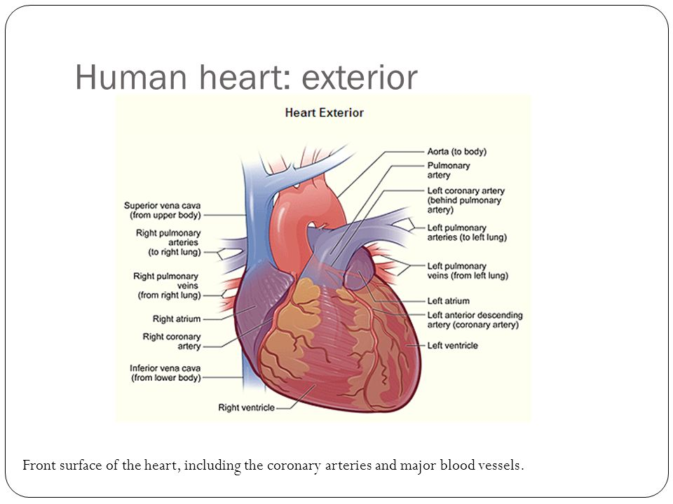 Diagram of the heart and major blood vessels choice image for Exterior of heart diagram