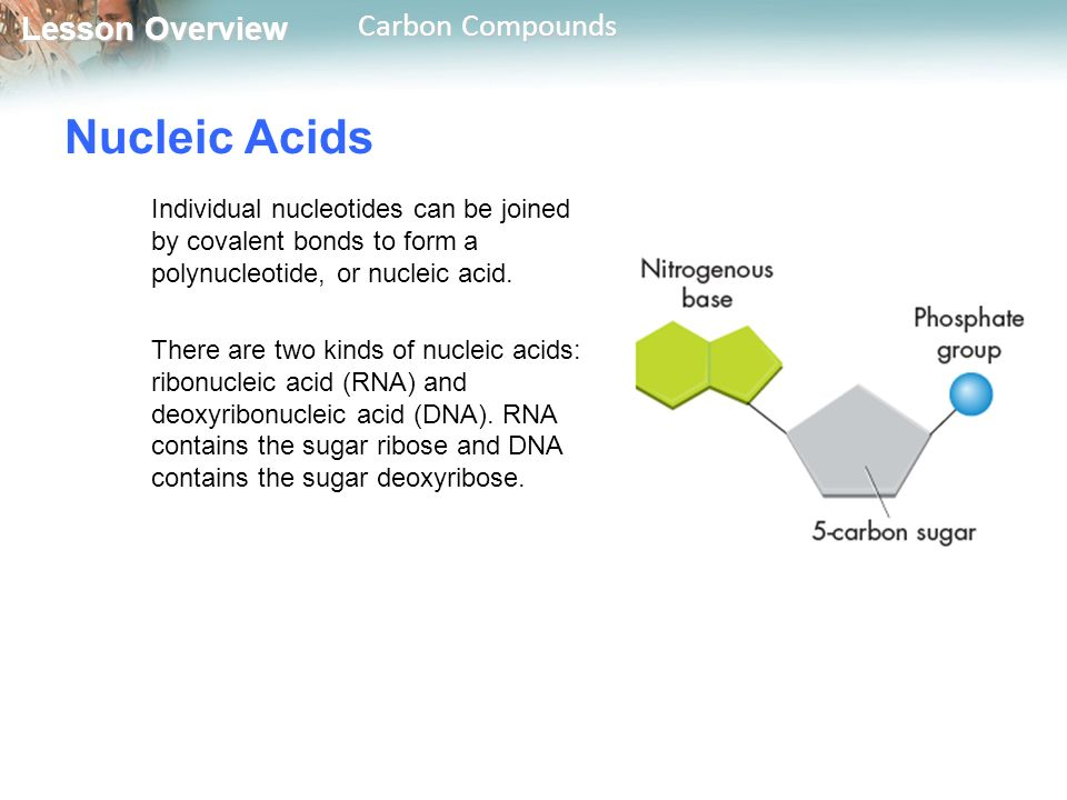 Nucleic Acids Individual nucleotides can be joined by covalent bonds to form a polynucleotide, or nucleic acid.