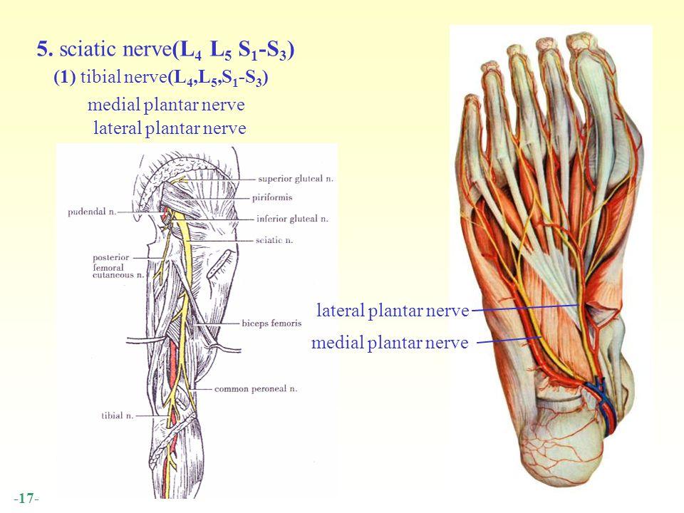 Contemporary Lateral Plantar Nerve Embellishment - Anatomy Ideas ...