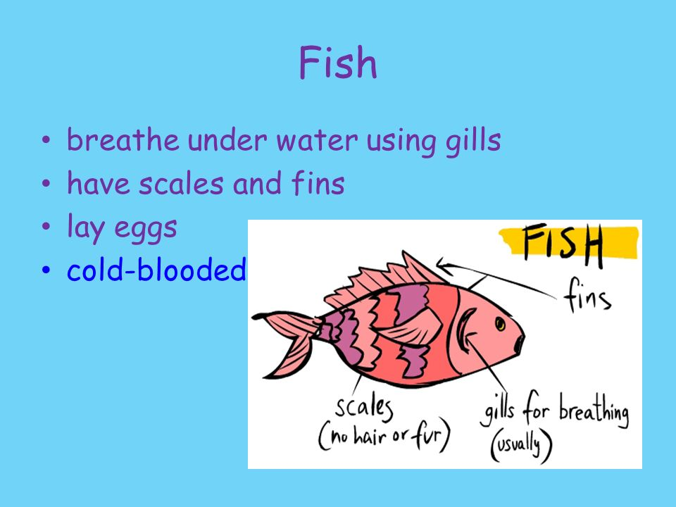 Classifying animals ppt video online download for Fish with scales and fins