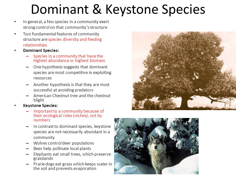 what is a keystone species A keystone species, by definition, has the power to largely effect entire ecosystems simply by performing natural behaviors for survival impressive.