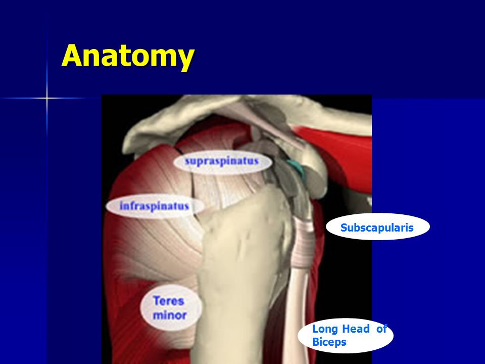 Anatomy Subscapularis Long Head of Biceps