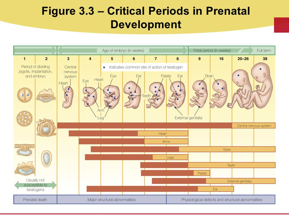 stages of prenantal development The process of prenatal development occurs in three main stages the first two weeks after conception are known as the germinal stage, the third through the eighth week are known as the embryonic period, and the time from the ninth week until birth is known as the fetal period.