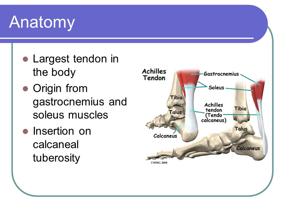 Anatomy Largest tendon in the body