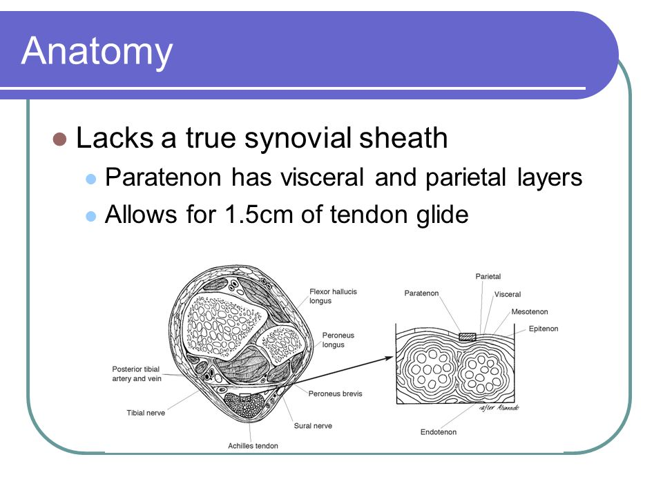 Anatomy Lacks a true synovial sheath