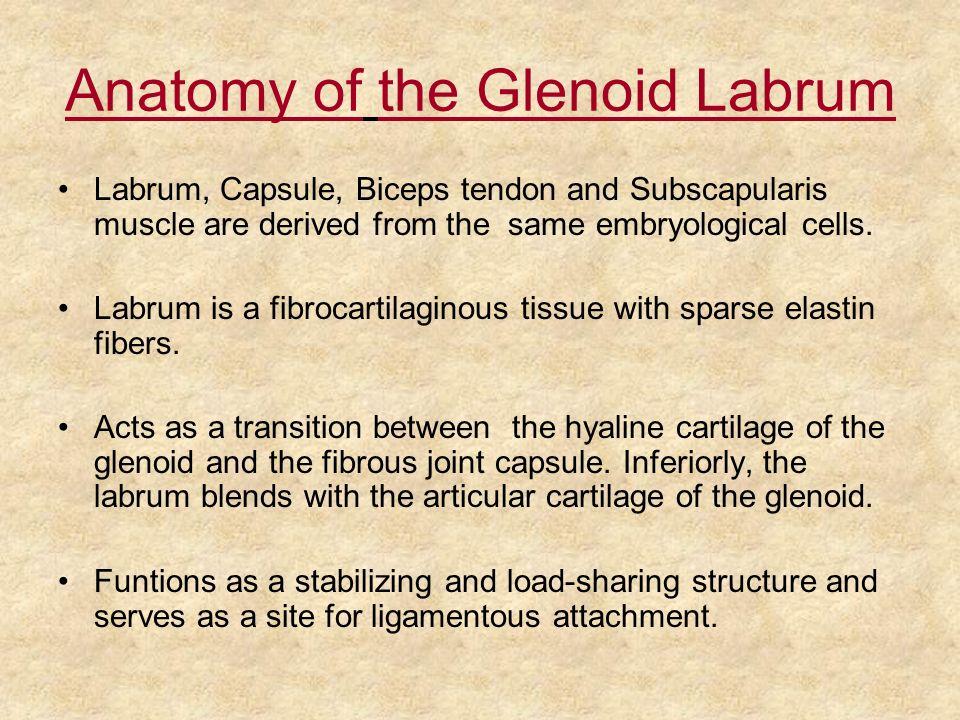 Anatomy of the Glenoid Labrum
