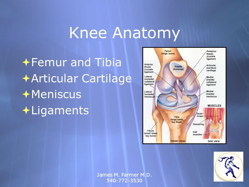 Knee Anatomy Femur and Tibia Articular Cartilage Meniscus Ligaments