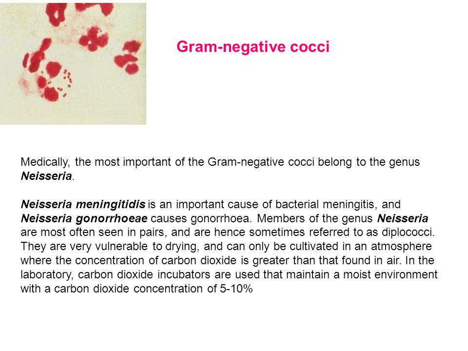 Gram-negative cocci Medically, the most important of the Gram-negative cocci belong to the genus Neisseria.