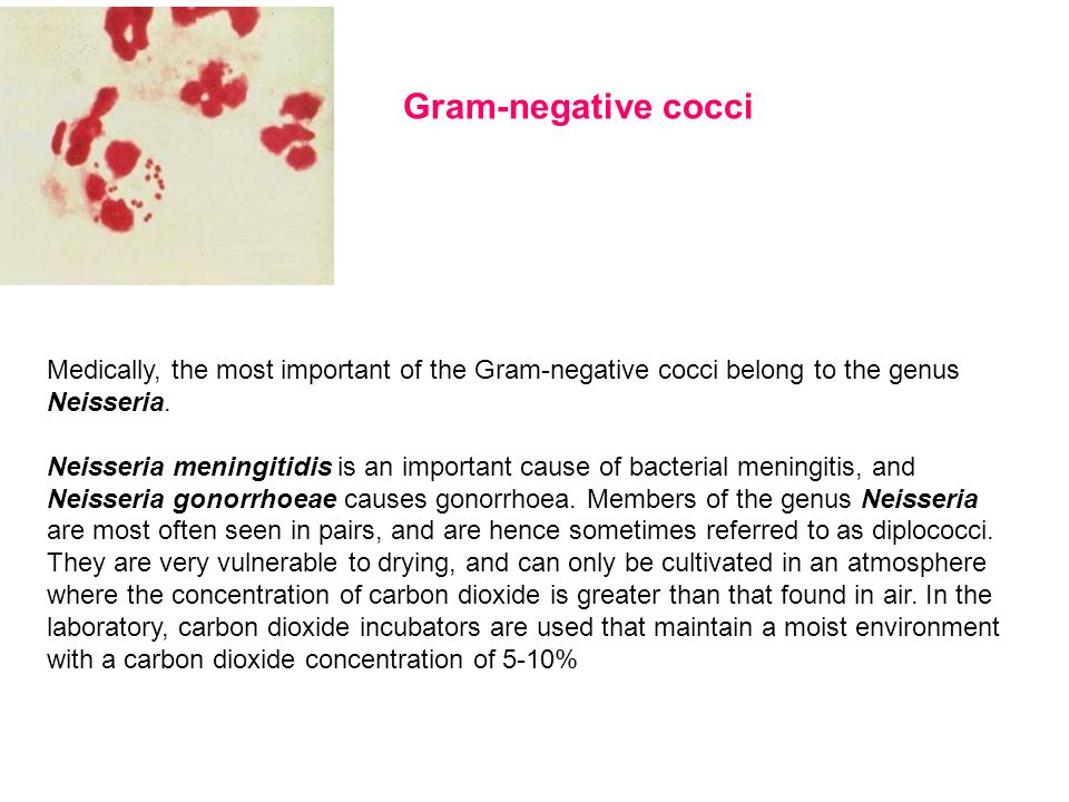 Gram-negative cocciMedically, the most important of the Gram-negative cocci belong to the genus Neisseria.