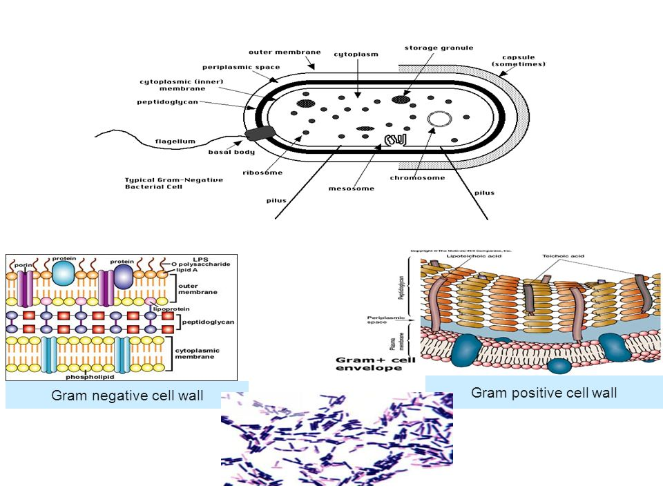 Gram positive cell wall Gram negative cell wall