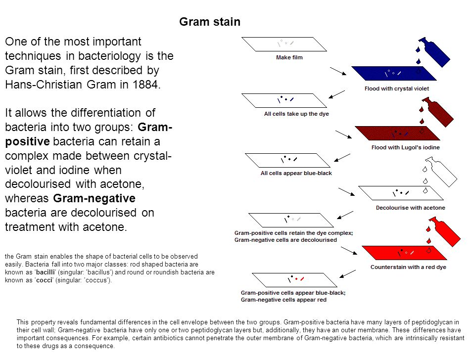 Gram stain One of the most important techniques in bacteriology is the Gram stain, first described by Hans-Christian Gram in 1884.