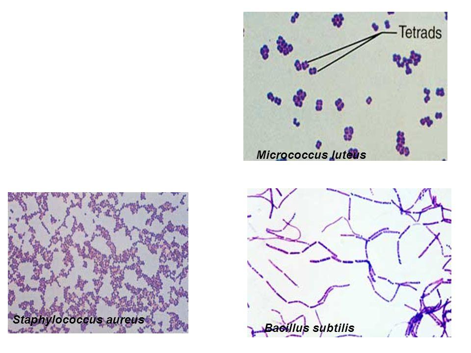 Micrococcus luteus Staphylococcus aureus Bacillus subtilis