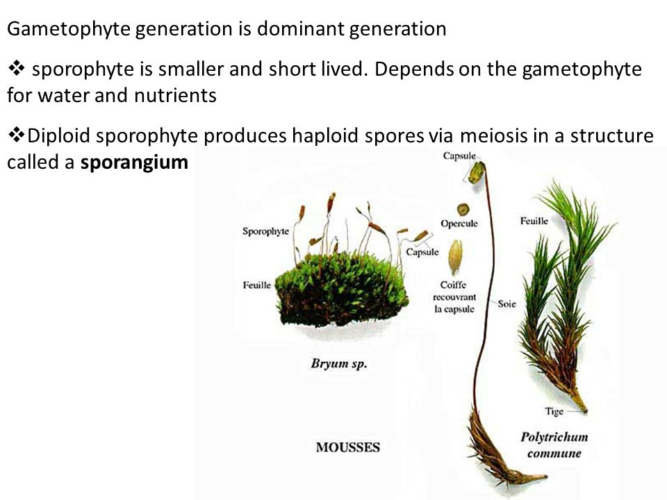 Gametophyte generation is dominant generation