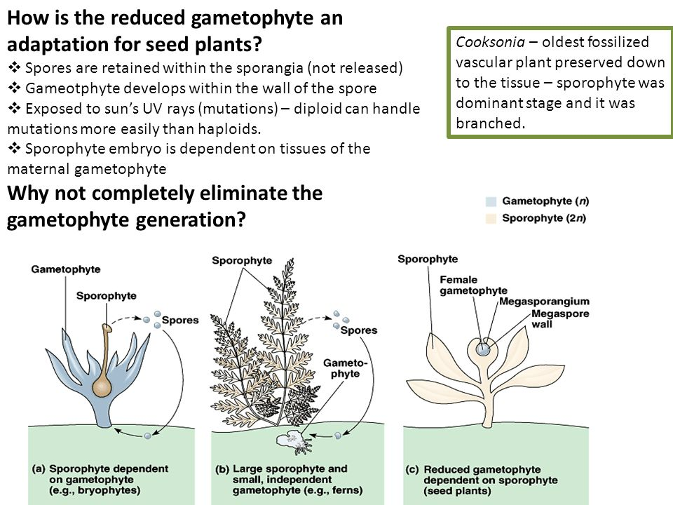 How is the reduced gametophyte an adaptation for seed plants