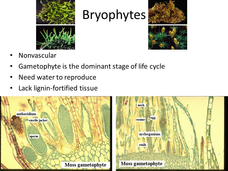 Bryophytes Nonvascular Gametophyte is the dominant stage of life cycle