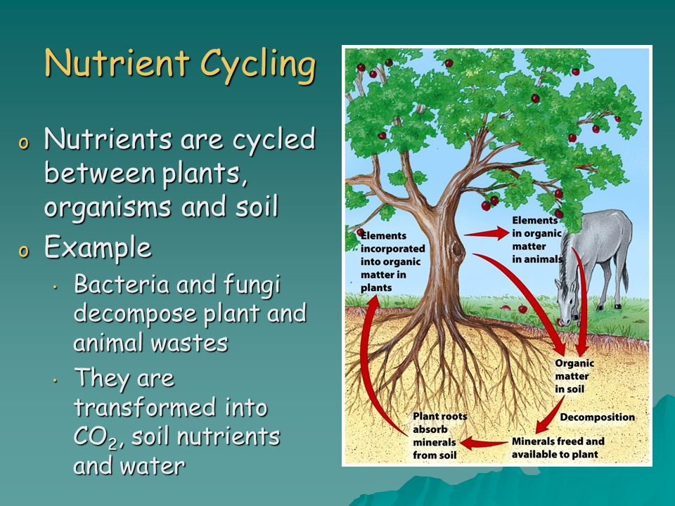 Nutrient Cycling Nutrients are cycled between plants, organisms and soil. Example. Bacteria and fungi decompose plant and animal wastes.