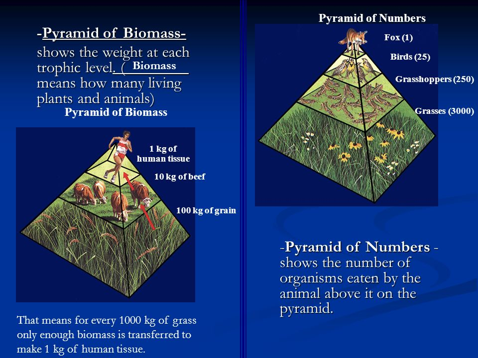 Pyramid of Numbers -Pyramid of Biomass- shows the weight at each trophic level. (________ means how many living plants and animals)