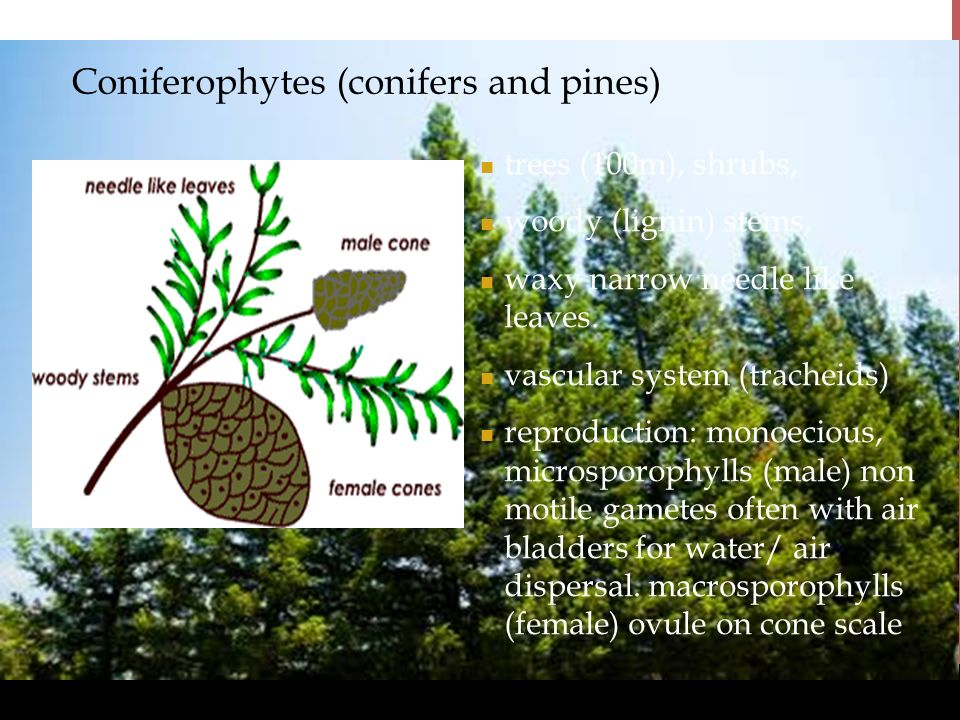 Coniferophytes (conifers and pines)