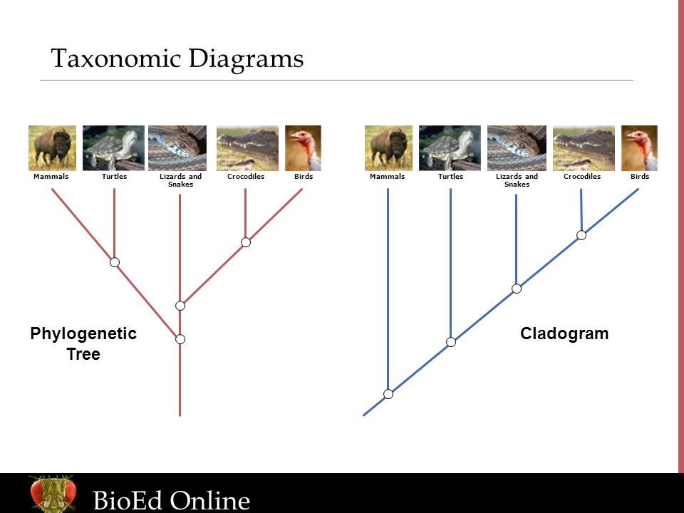 Taxonomic Diagrams BioEd Online Phylogenetic Tree Cladogram