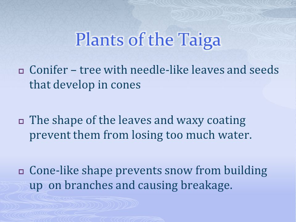 Plants of the Taiga Conifer – tree with needle-like leaves and seeds that develop in cones.