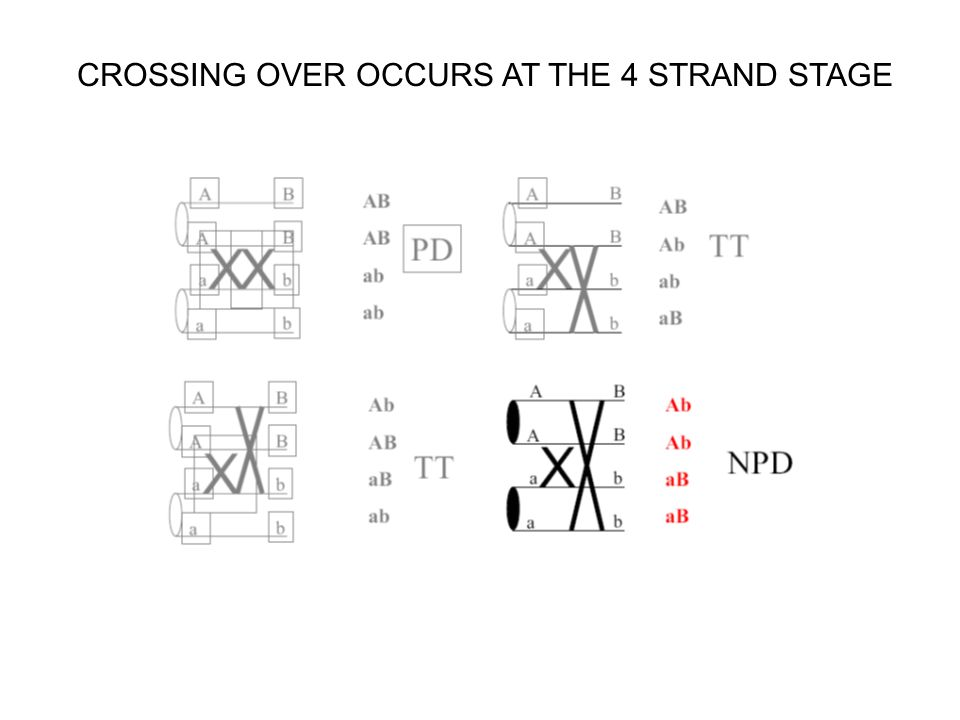 CROSSING OVER OCCURS AT THE 4 STRAND STAGE