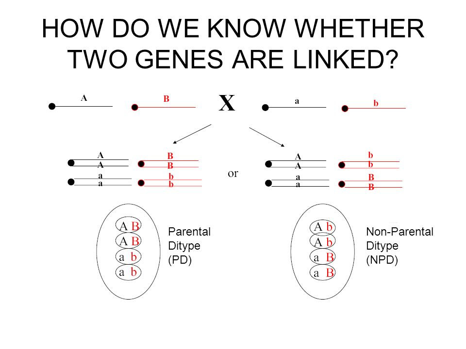 HOW DO WE KNOW WHETHER TWO GENES ARE LINKED