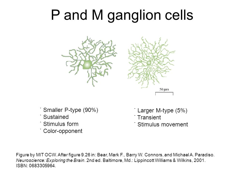 P and M ganglion cells ˙ Smaller P-type (90%) ˙ Larger M-type (5%)