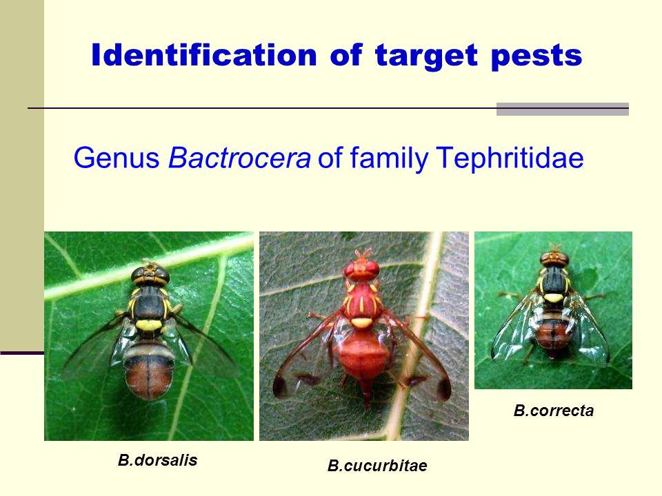 Genus Bactrocera of family Tephritidae