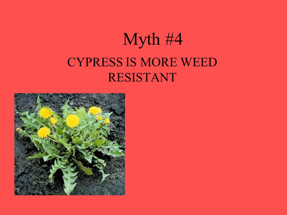 CYPRESS IS MORE WEED RESISTANT