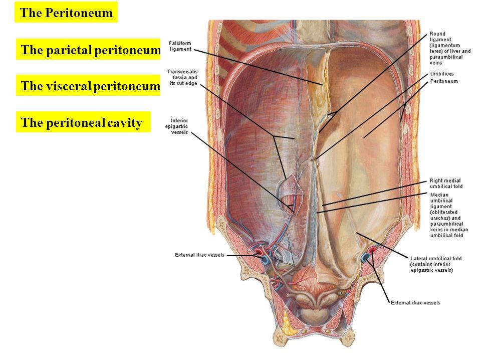 بسم الله الرحمن الرحيم peritoneum. - ppt download, Human Body