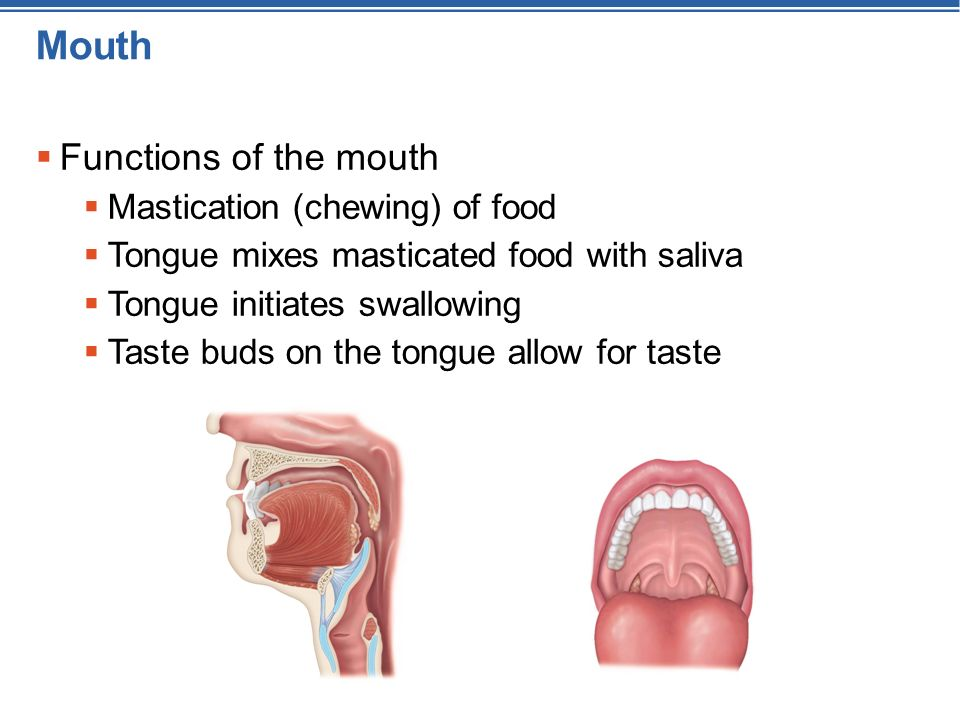 The Functions Of The Mouth 7