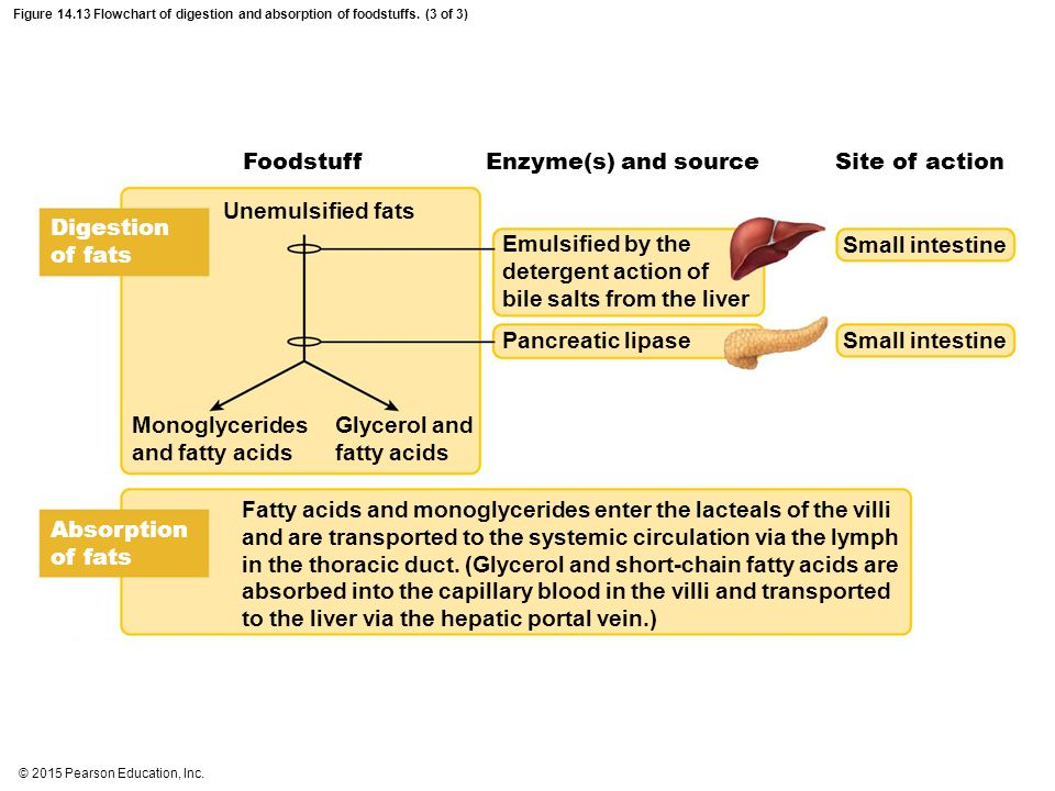 pancreatic lipase digestion of fats and the action bile Chemical processes of digestion explain the role of bile in the digestive process pancreatic lipase digestion of fats and the action of bile.