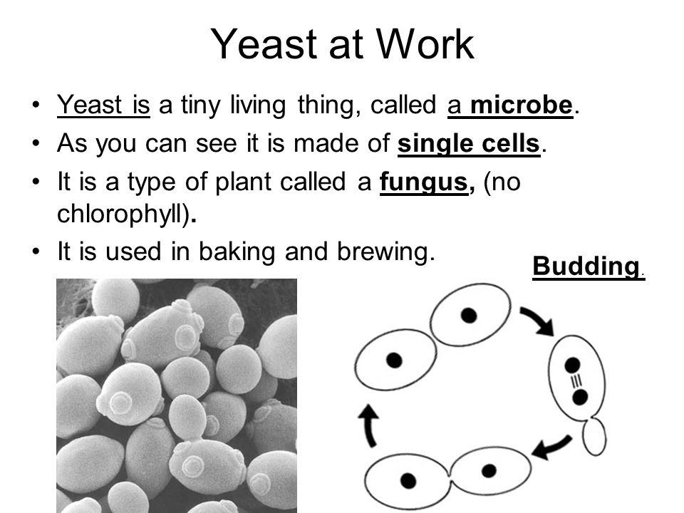 Yeast at Work Yeast is a tiny living thing, called a microbe.