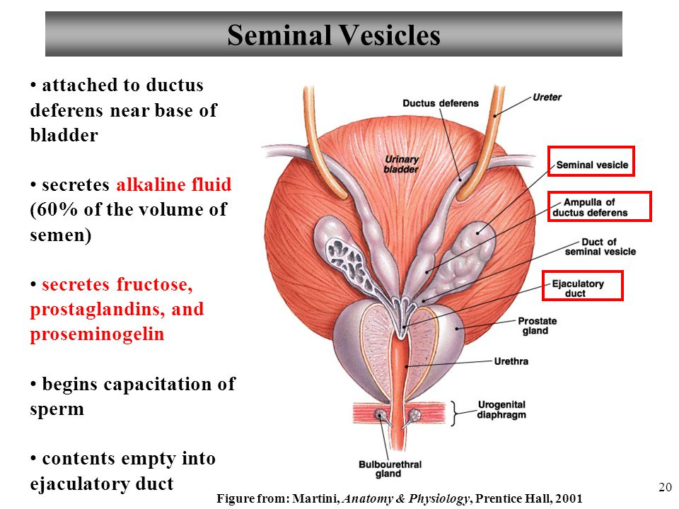 All About Seminal Vesicles Anatomy And Physiology Of The Male By