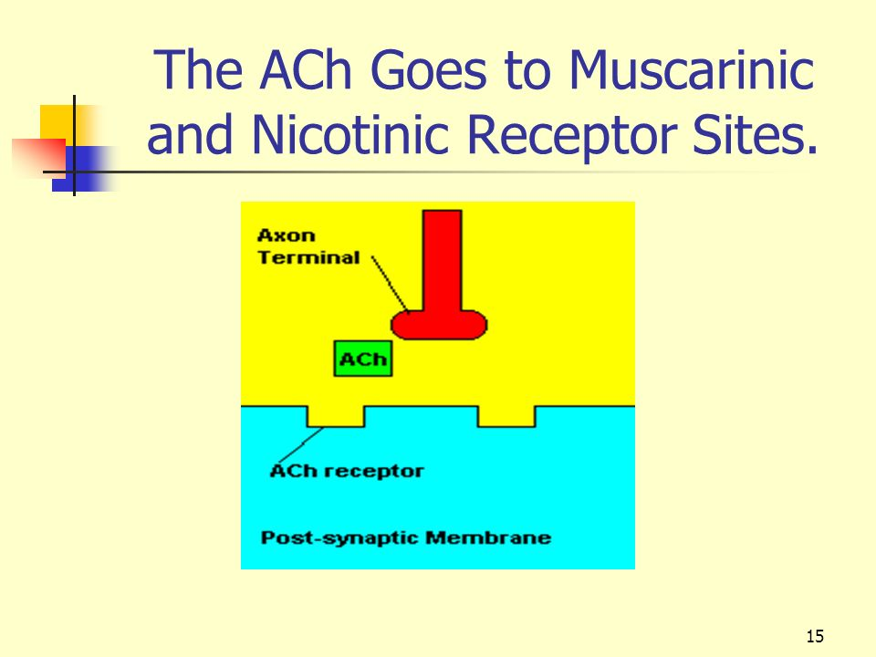 The ACh Goes to Muscarinic and Nicotinic Receptor Sites.