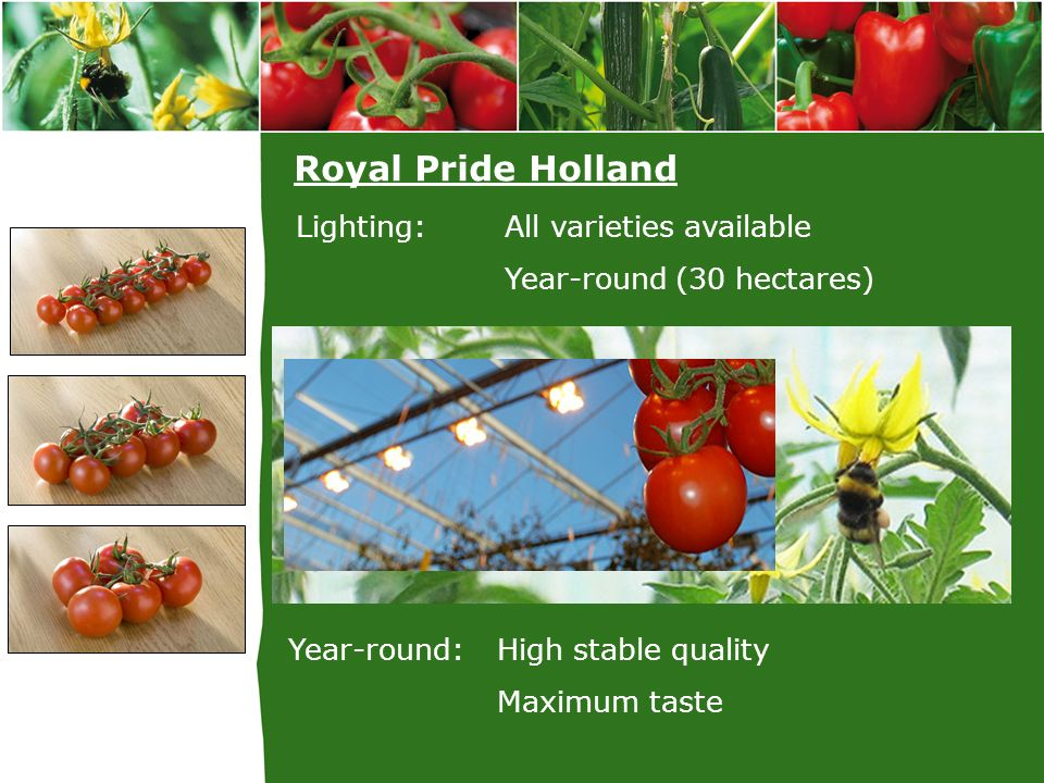 Royal Pride Holland Lighting: All varieties available