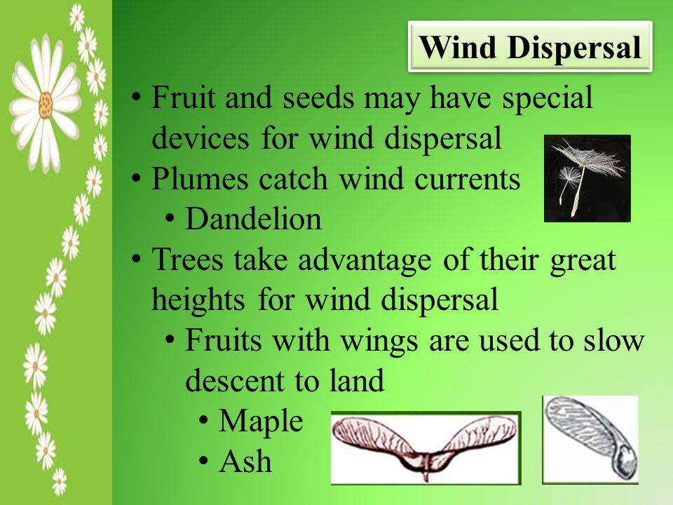 seed dispersal essay Seed dispersal is the transport or movement of seeds away from the parent plant  in order to help prevent the overcrowding (if this happens plants would not.