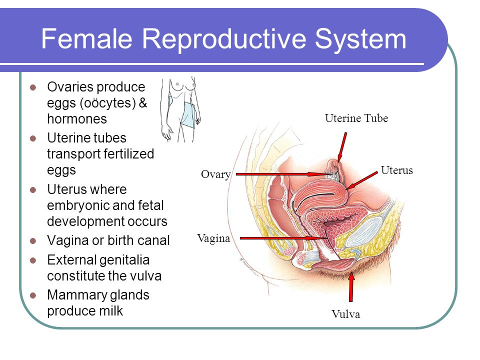Female External Reproductive System Anatomy. Outermost Part Of ...