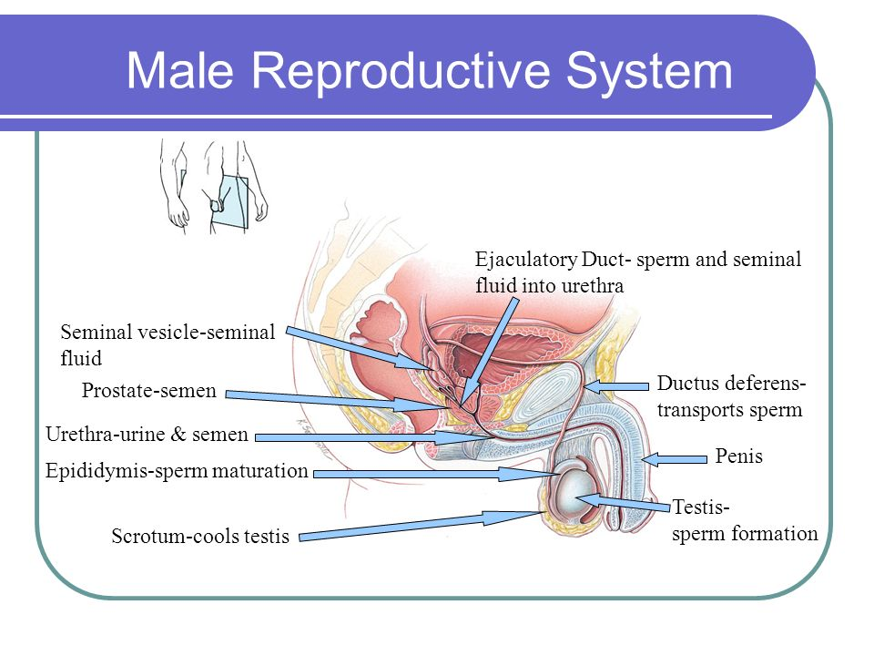 Idea male production sperm