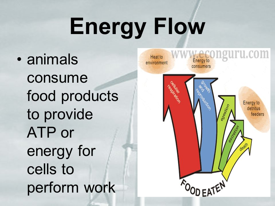Energy Flow animals consume food products to provide ATP or energy for cells to perform work