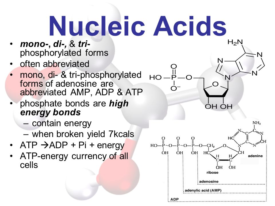 Nucleic Acids mono-, di-, & tri-phosphorylated forms often abbreviated