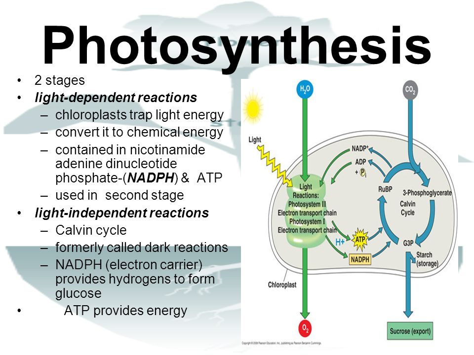 Photosynthesis 2 stages light-dependent reactions